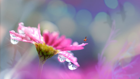 selective focus photography of brown insect in flight above pink petaled flower