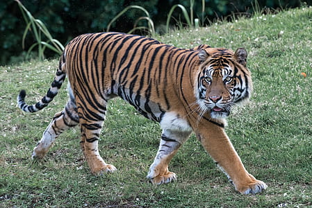 brown tiger on green grass at daytime
