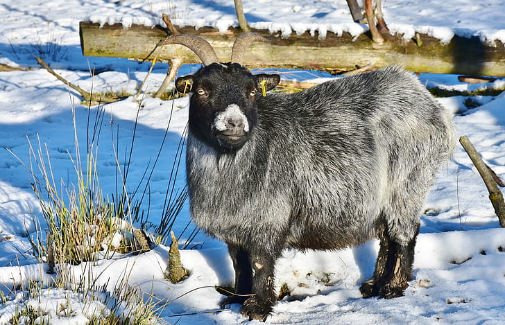 white and black goat standing on a snow
