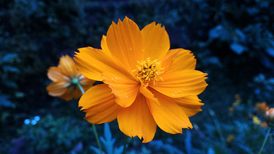 orange cosmos flowers closeup photo