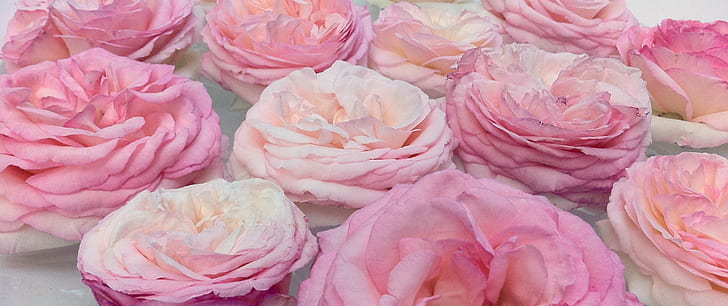 pink roses lot close up photo