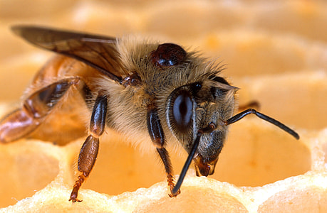 close-up photography of honeybee on honeycomb