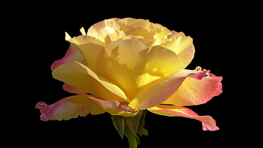 yellow and pink petaled flower