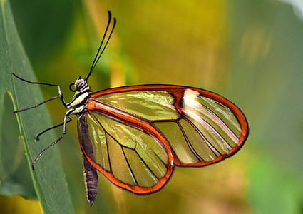 close up photo of brown and black glasswing butterfly on green leaf