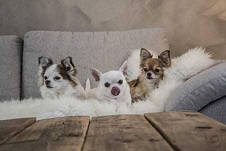 photo of three puppies on sofa near wooden table