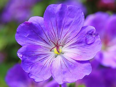 closeup photography of blue impatiens flower
