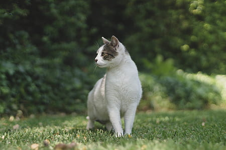 short-fur white and gray cat standing on green lawn grass at daytime