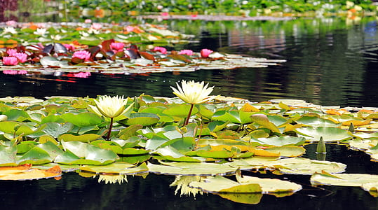 white water lilies on water