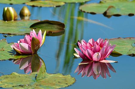 two pink lotus on water