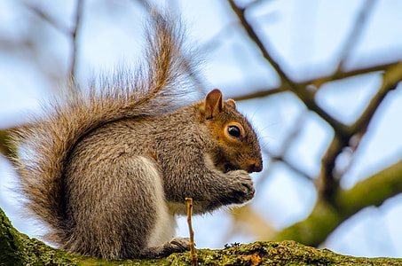 close-up photography of brown squirrel