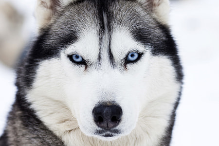 Husky dog in winter snow