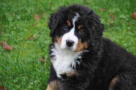 border coalie puppy