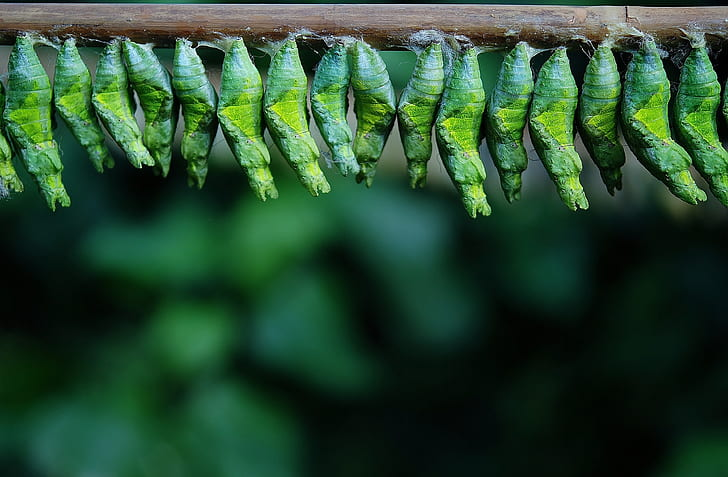 photo of bunch of green pupa on brown stick