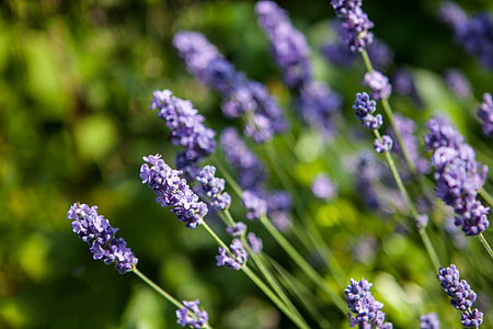Close-up shot of some Lavender flowers in the Kent countryside in Southern England