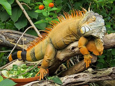 brown and black iguana