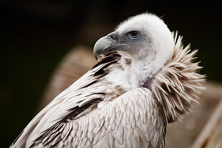 selective photography of albino vulture