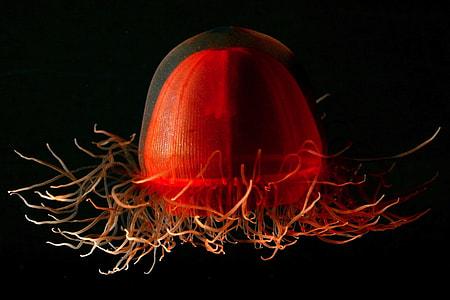 photo of red jellyfish
