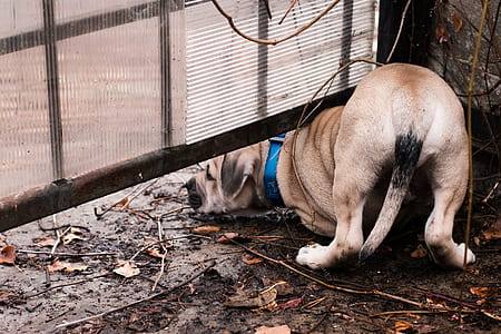 brown great dane puppy crawling under metal fence during daytime