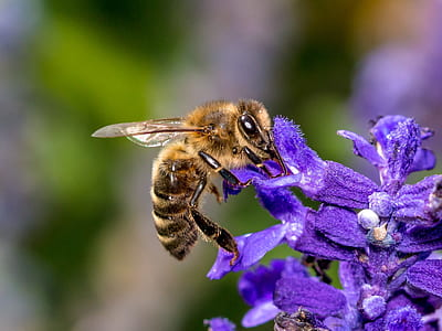 close-up photo of honey bee perched on purple flower