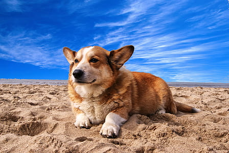 white and tan corgi on white sand