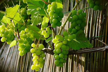 white grape plant