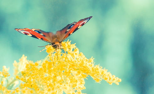 peacock butterfly perching on yellow cluster flower in close-up photography