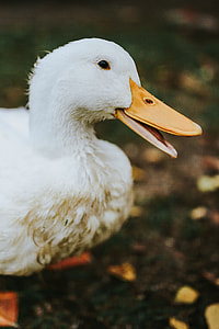 White ducks on the grass