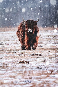 brown and black bison walks on snow covered field