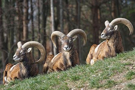 wildlife photography of three brown rams