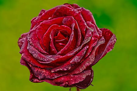 Red Rose With Green Background