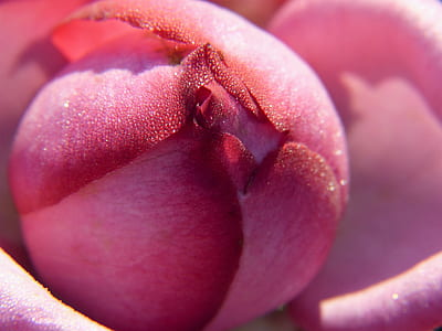 pink rose flower close-up photography