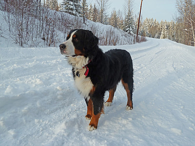 adult Bernese Mountain dog