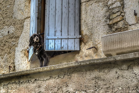 black flat-coated retriever on window during daytime