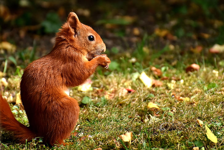 focused photo of brown squirrel