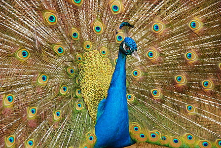 blue, green, and yellow peafowl