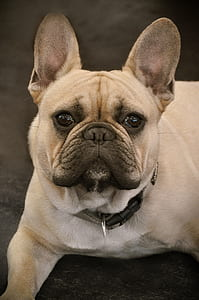 adult brown French bulldog