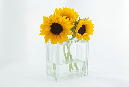 three yellow sunflowers in clear glass vase with water