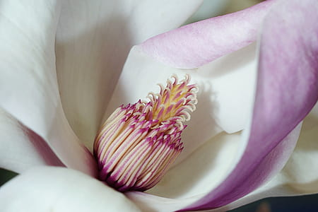 macro photography of pink and white magnolia flower