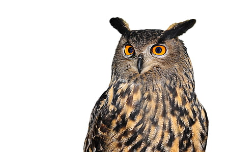 brown and black owl with white background
