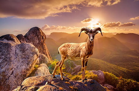 ram on the top of mountain