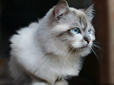 closeup photo of Siberian cat