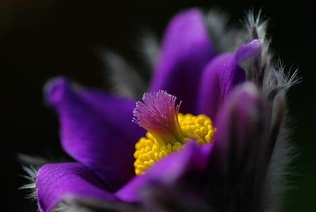 purple pasque flower selective-focus photo
