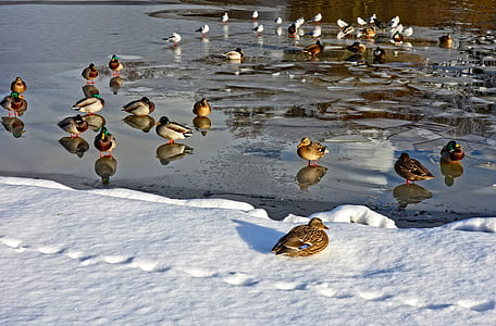 flock of mallard duck