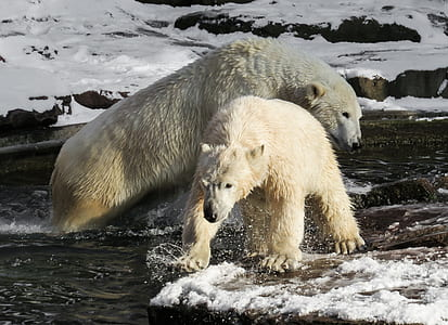 photo of two white bears on body of water