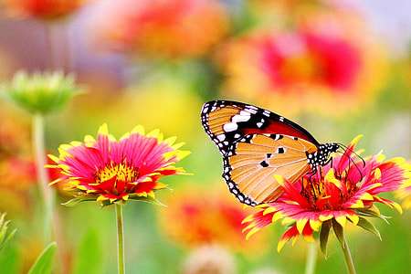 Monarch butterfly perched on pink-and-yellow petaled flower in closeup photo