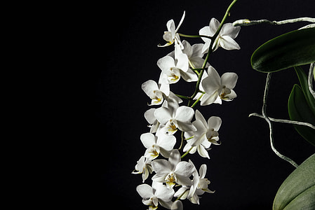 white moth, moth orchid, flower, orchid, plant, petal