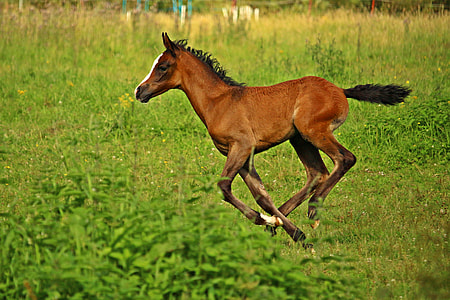 brown pony strides on lush field