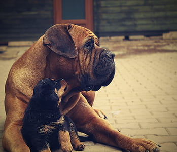 adult brown French mastiff and black and tan German shepherd puppy on grey concrete pavement during daytime