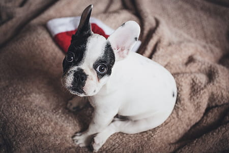 white and black French bulldog puppy on brown textile