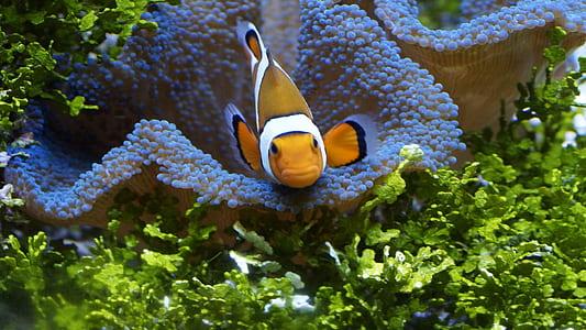 underwater photo of clownfish